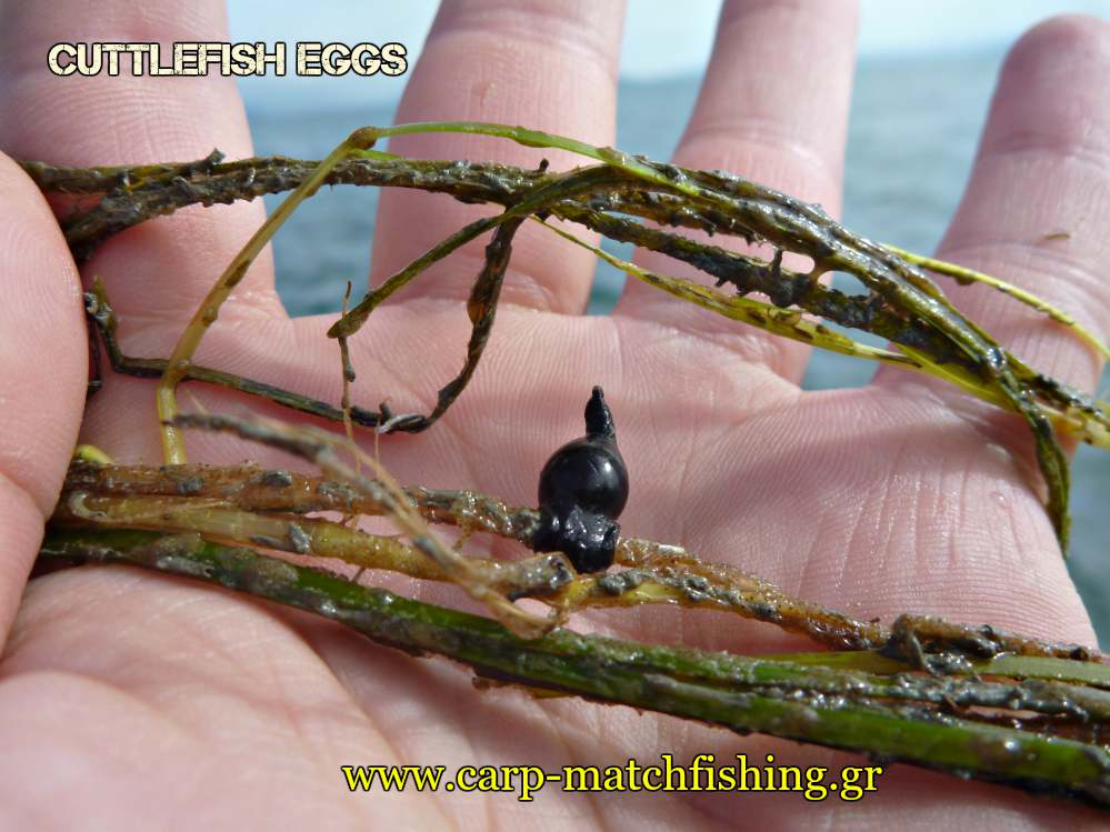 eging-cuttlefish-eggs-carpmatchfishing