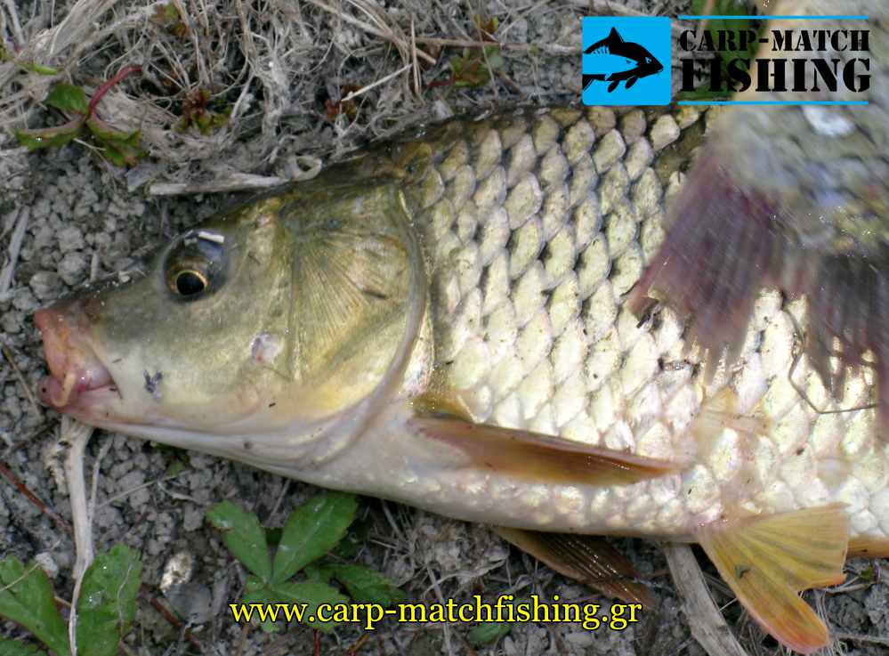 kyprinos carp carpmatchfishing