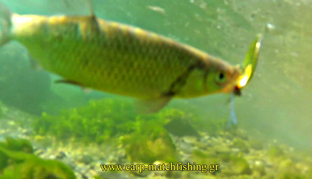 limni-spinning-bee-free-underwater-carpmatchfishing
