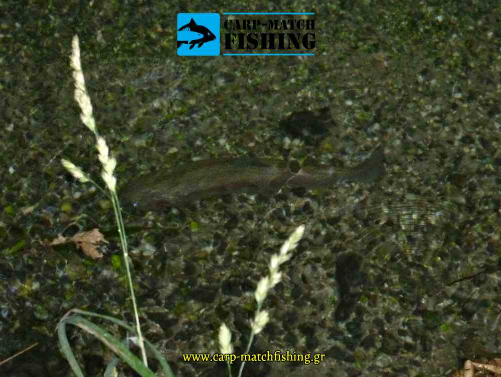 trout in the stream pestrofa se karteri reuma spinning potami carpmatchfishing