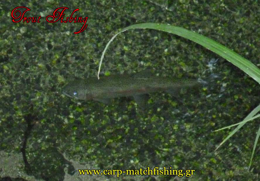 trout-live-swimming0in-freshwater-spinning-carpmatchfishing