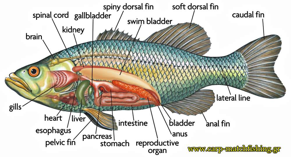 sea-bass-fish-anatomy-catch-and-release-carpmatchfishing