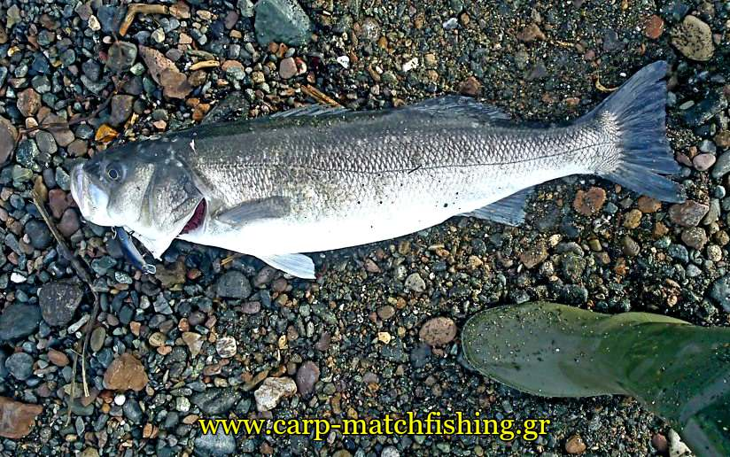 sea-bass-spinning-fish-sand-carpmatchfishing