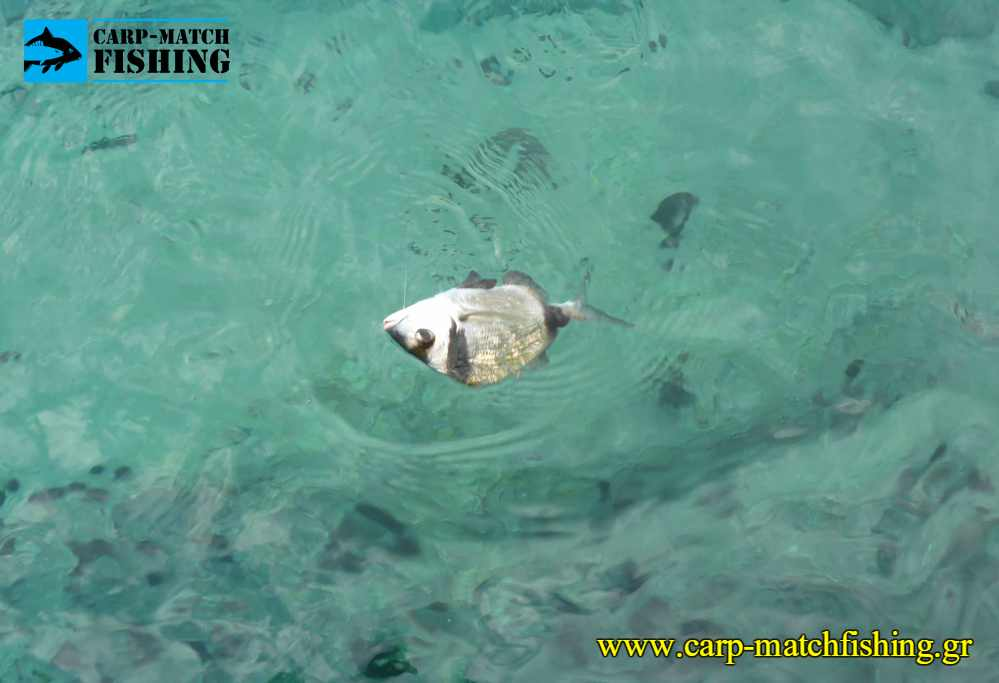 sargos match rockfishing waggler carpmatchfishing